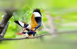 чернота покрыла kingfisher Стоковые Фотографии RF