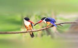 чернота покрыла kingfisher Стоковое Изображение