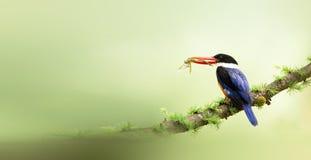 чернота покрыла kingfisher Стоковое Изображение RF
