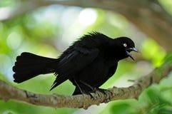 чернота птицы Стоковое Изображение