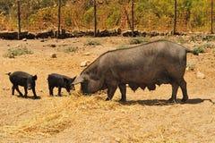 чернота разводя свиней Стоковая Фотография