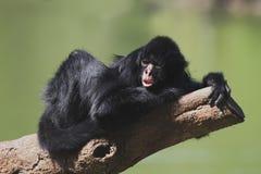 чернота смотрела на спайдер обезьяны Стоковое Изображение