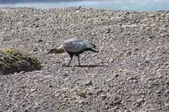 чернота смотрела на ibis Стоковые Фото
