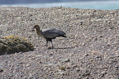 чернота смотрела на ibis Стоковое фото RF