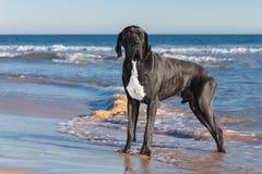Чернота собаки большого датчанина Стоковое Фото