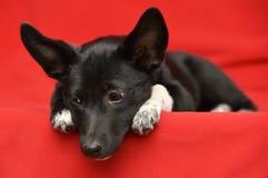 Чернота с белой пушистой собакой стоковое изображение