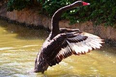 чернота с принимать лебедя Стоковое Изображение
