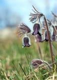 чернота цветет pulsatilla Стоковые Фотографии RF