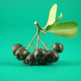 чернота ягоды золы Стоковое фото RF