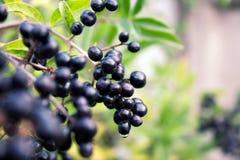 чернота ягод стоковая фотография