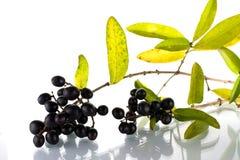 чернота ягод стоковое изображение