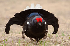 чернота 002 разводя plumage grouses Стоковые Изображения