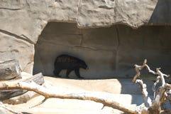 чернота 2 медведей Стоковое Изображение RF