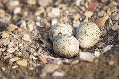 чернота eggs подогнали ходулочник, котор Стоковая Фотография