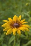 чернота eyed susans rudbeckia hirta Стоковое Фото