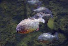 Чернота PACU рыб Piranha Стоковые Фотографии RF