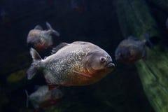 Чернота PACU рыб Piranha Стоковые Изображения RF