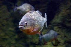 Чернота PACU рыб Piranha Стоковое Изображение