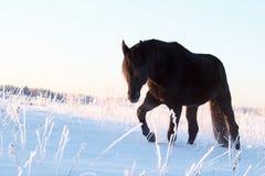 Чернота Trakehner Стоковые Фото