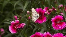 Чернота Veined белая бабочка сток-видео