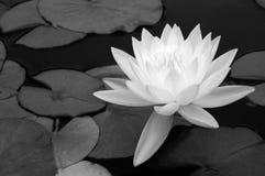 черноты белизна waterlily Стоковое Изображение
