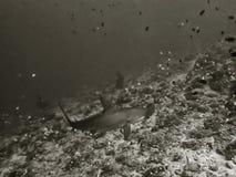 Черно-белая акула молота конца вверх Scalloped Стоковые Фотографии RF