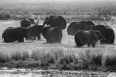 Черно-белая Африка Африканский слон в зеленой траве воды, национальный парк Chobe, Ботсвана Слон в среду обитания озера Wildli Стоковое Изображение