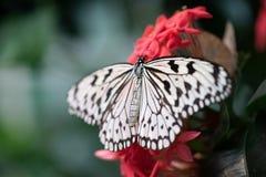 Черно-белая бабочка на розовом тропическом цветке стоковое изображение