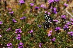 Черно-белая бабочка сидя на фиолетовых цветках Стоковая Фотография