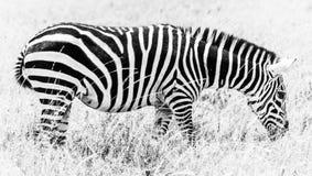 Черно-белая зебра пася Стоковая Фотография