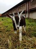 Черно-белая коза ребенк Стоковые Фото