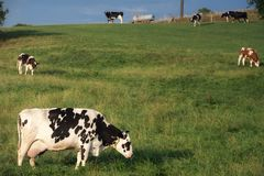 Черно-белая корова пася на выгоне Стоковое фото RF