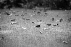 черно-белая лужайка с сухими листьями, поле зеленой травы травы в саде стоковое фото rf