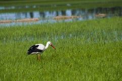Черно-белая птица аиста ища еда Стоковые Фотографии RF