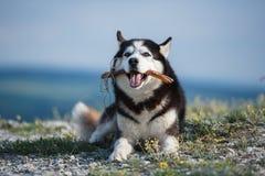 Черно-белая сибирская лайка лежа на горе на предпосылке озера и леса и ест обслуживания Собака на ба Стоковое Изображение