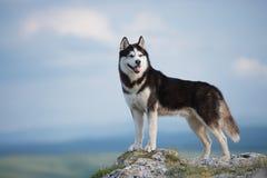 Черно-белая сибирская лайка стоя на горе на заднем плане гор и лесов Собака на предпосылке natur Стоковые Изображения