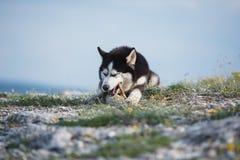Черно-белая смешная сибирская лайка лежа на горе ест обслуживания Смешная собака на предпосылке естественного ландшафта Голубой e Стоковые Изображения RF