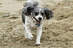 Черно-белая собака Cavachon бежать на пляже Стоковые Фото