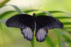 Черно-белая тропическая бабочка на лист Стоковые Фотографии RF