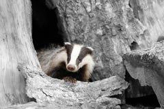 Черно-белая фотография с барсуком цвета Стоковое Фото