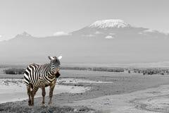 Черно-белая фотография с зеброй цвета Стоковое Изображение