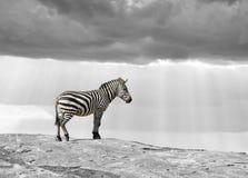 Черно-белая фотография с зеброй цвета Стоковые Изображения RF