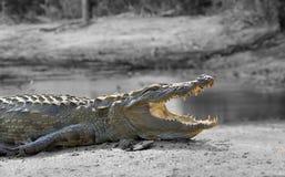 Черно-белая фотография с крокодилом цвета Стоковые Изображения