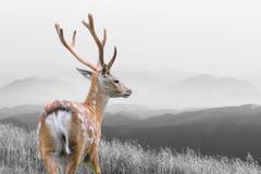 Черно-белая фотография с оленями цвета Стоковое фото RF