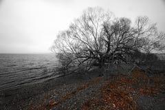 Черно-белое единственное облыселое дерево на портовом районе в зиме Безлистные ветви и упаденные красные листья на Pebble Beach в стоковые фото