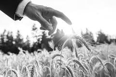 Черно-белое изображение бизнесмена касаясь уху пшеницы стоковые изображения rf