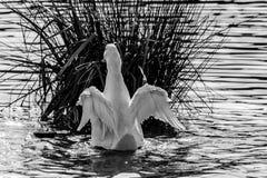 Черно-белое monochrome изображение утки pekin также известной как утки Aylesbury и стоковое изображение