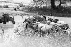 Черно-белое taurinus Connochaetes антилопы гну в национальном парке Tarangire, Танзании Стоковое Изображение RF