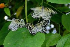 Черно-белые бабочки в саде бабочки Стоковое Фото