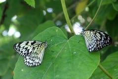Черно-белые бабочки в саде бабочки Стоковая Фотография RF
